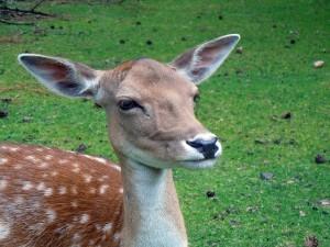 roe-deer-377190_640