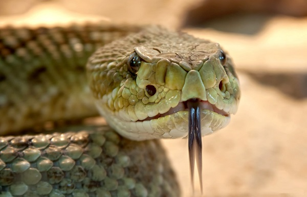 topo serpente 600