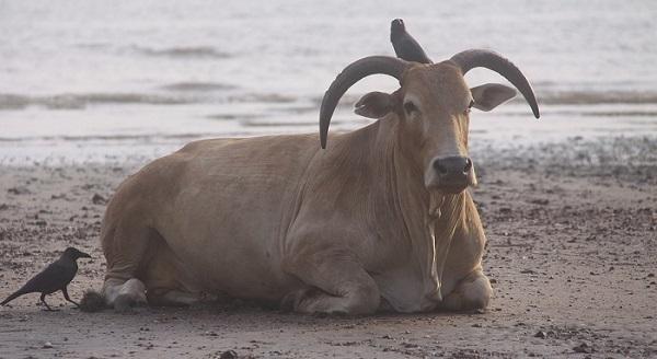 Le vacche e gli attaccamenti_vacca e uccelli_600