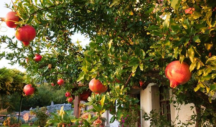 stagioni e albero di melograno carico di frutti
