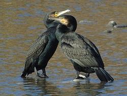 cormorani coccolosi o sporcaccioni?