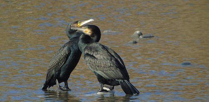 cormorani cheek to cheek