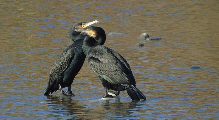 cormorani coccolosi