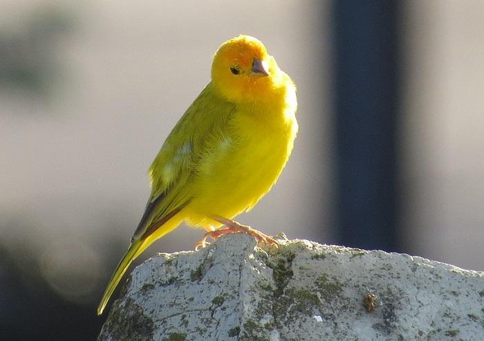 la gabbia e il canarino-anima
